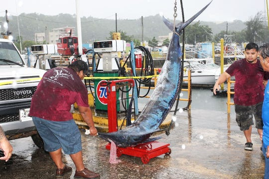 Crew at the Guam Fishermen's Co-op prepare to weigh a marlin caught by Nick Taisacan of the Marianas VI, along with crew members Marlon Mortera and Richard Nostratis, Aug. 25 during the 23rd Annual Guam Marianas International Fishing Derby.
