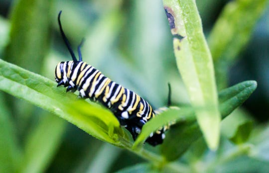A monarch butterfly caterpillar climbs on a milkweed plant in Indianapolis on Thursday, Aug. 23, 2018. The population of monarch butterflies is still under threat due to loss of their only food source, milkweed.