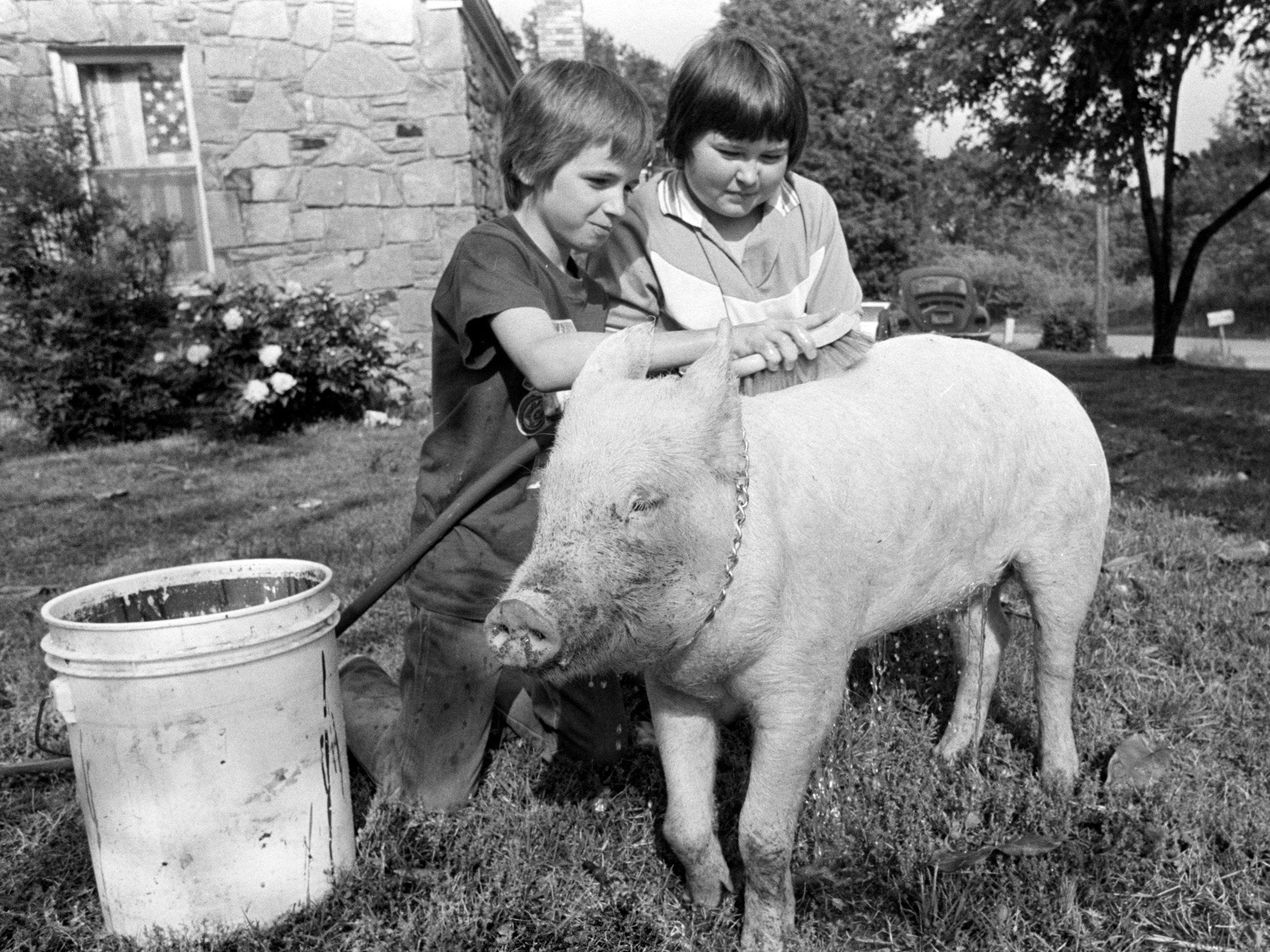 Kevin Kopp (Left) helps owner John Sanders bathe Susie on 5 May 1982 in preparation for the annual Children's Pet Parade. John, the 11-year-old son of Mr. and Mrs. M.R. Sanders of 282 South Circle Road, is spending the week getting Susie ready to put her best pigfoot forward in the Overton Park competition.