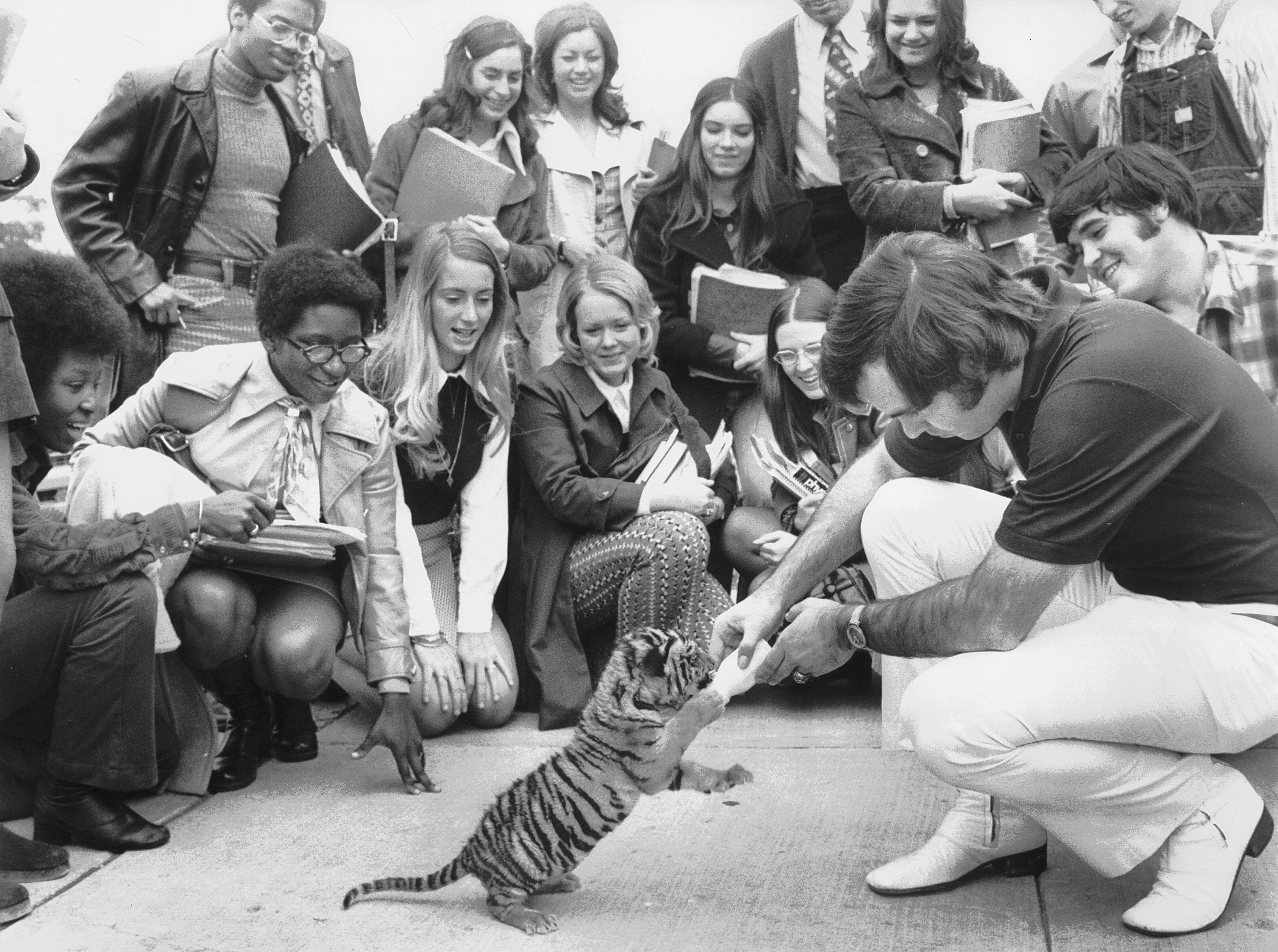 MSU's new, and yet unnamed mascot, a 7 1/2 pound Bengal tiger, takes a lunch break during his introduction to students by handler Bill Poarch on November 10, 1972. The young mascot was purchased from a Danville, Illinois, animal broker by the Highland Hundred booster group for $1,500 and was to be introduced to the public during pregame ceremonies of the Tigers game with Cincinnati the following day.