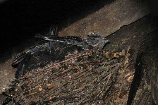 Chimney swift hatchlings sit in their nest in a chimney in Green Lake, Wis. The nests are constructed by adult swifts on vertical surfaces, often inside human-made structures such as chimneys. They are made of twigs and held together by the birds' saliva.