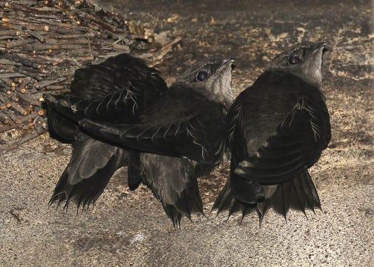 Chimney Swift Fledglings 2018 8 12 Near Nest Tom Schultz Photo