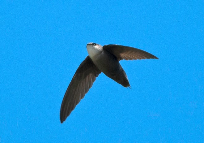 A chimney swift flies over the Lake Michigan shoreline at Wind Point near Racine, Wis.