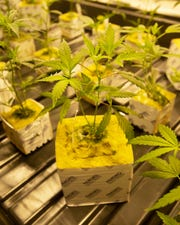 Photos of seedlings from the first crop of medical marijuana being grown in Louisiana.