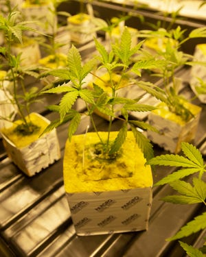 Photos of seedlings from medical marijuana being grown in Louisiana.