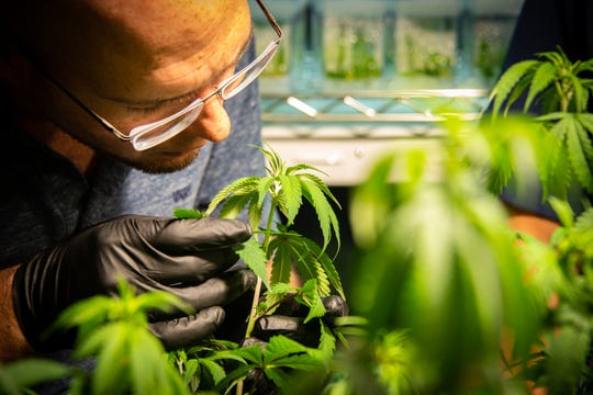 Dr. Dominick Monaco of GB Sciences examines seedlings from the first crop of medical marijuana being grown in Louisiana.