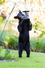 A bear steals seeds from a bird feeder near Steve Coffin's home in North Naples.