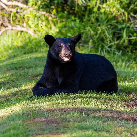 A bear sits outside near Steve Coffin's home in North Naples