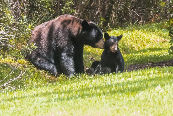 Two bears sit outside near Steve Coffin's home in North Naples.