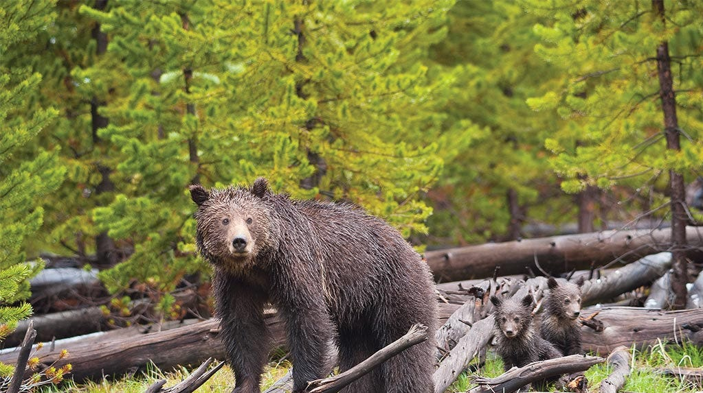 Judge grants temporary restraining order stopping trophy hunt of grizzly bears in the Yellowstone area