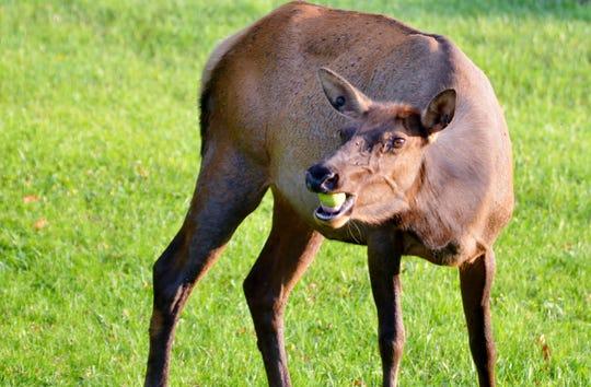 Seeing 100's of cow elk in a single week was thrilling.