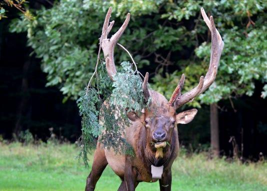 Bull Elk With Pine