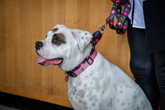 Lilly Mae, sits waiting for her next training scenario with her trainer Shaney Starr in a Marion County juvenile courtroom Tuesday August 28, 2018. The trip was so Lilly Mae could make one more training visit before her official swearing-in ceremony on Sept. 6. The rescued boxer is about to become Oregon's first CASA therapy dog, providing comfort to foster children during court proceedings. Lilly Mae was rescued and trained by CASA executive director Shaney Starr. Child volunteers played the role of kids who would be attending a juvenile court proceeding so Lilly Mae could learn the surroundings and process of going to court in a support capacity.