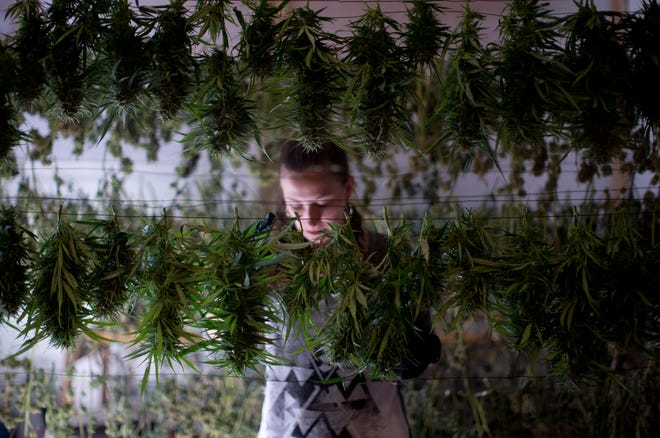 A worker hangs marijuana after harvesting a crop at a growing operation in southern Oregon.