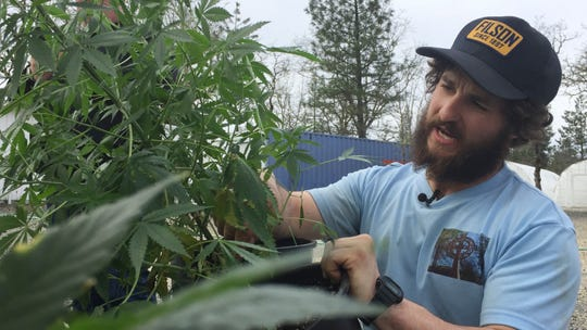 In this April 5, 2017 file photo, is Matthew Miller of Millerville Farms looking over a marijuana plant in Cave Junction, Ore. Oregon will require cultivators growing outdoor marijuana for general use to notify the state when they plan to harvest. The rule that takes effect Saturday, Sept. 1, 2018, is intended to prevent marijuana from being diverted out-of-state to the black market after pressure from federal officials.