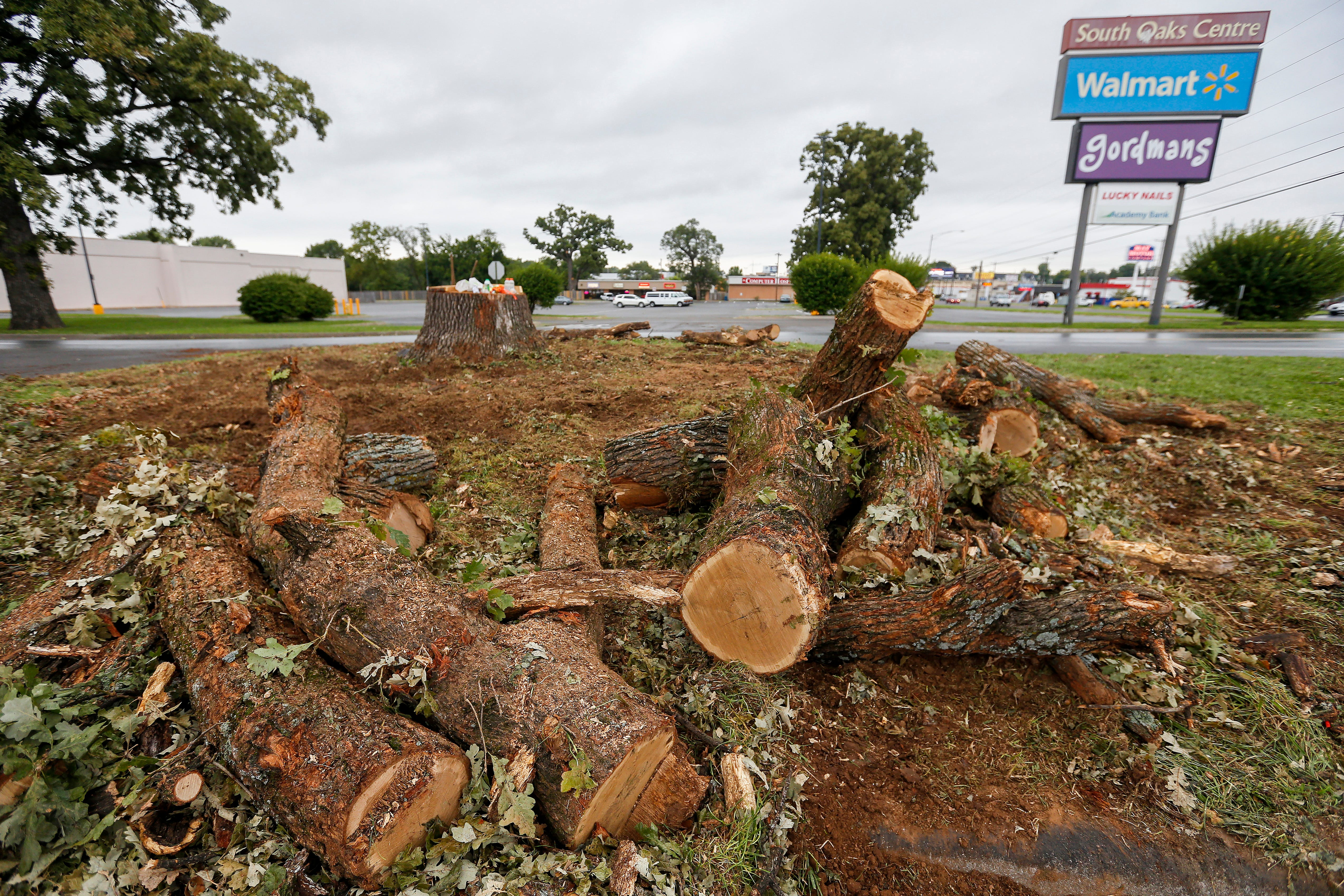The remnants of a bur oak tree that got its start in 1859 was recently cut down at the South Oaks Center due to lightning strikes.