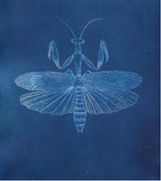 Cyanotype weeds and bugs series by artist Julie Baroody.