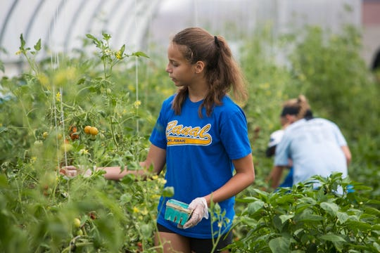 Volunteer Carina Silva, 13, picks tomatoes at the Food Bank of Delaware's farm in Glasgow.