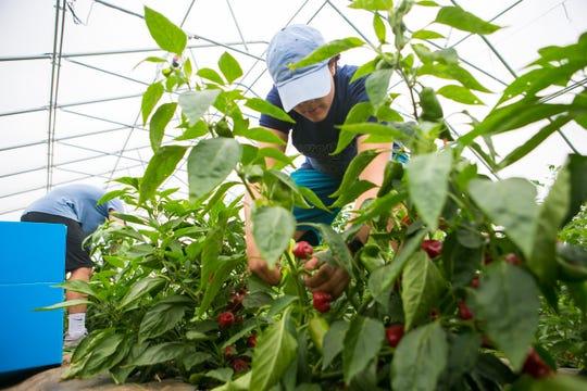 Volunteer Harry Saridakis, 16, picks hybrid jalapeno peppers at the Food Bank of Delaware's farm in Glasgow.