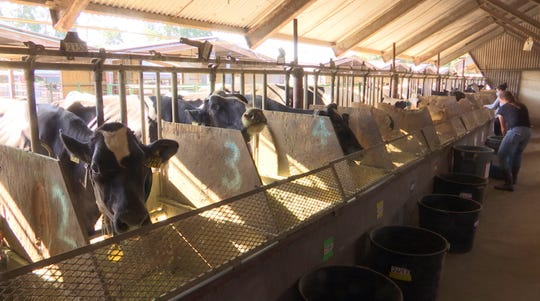In this June 8, 2018 image taken from video, dairy cows eat feed mixed with seaweed in a dairy farm at the University of California, Davis, in Davis, Calif. UC Davis is studying whether adding small amounts of seaweed to cattle feed can help reduce their emissions of methane, a potent greenhouse gas that's released when cattle burp, pass gas or make manure. Dairy farms and other livestock operations are major sources of methane.