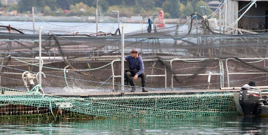 A worker at Cooke Aquaculture's Rich Passage net pens watches the fish splash behind him on Aug. 31, 2018.