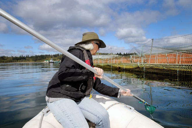 Independent biologist Alex Morton uses a net to capture tissue samples at the Atlantic salmon fish pens between Bainbridge Island and the Manchester Fuel Depot on Aug. 31.