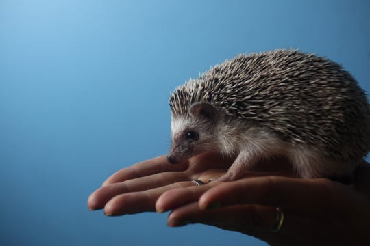A hedgehog is displayed at NJ Exotic Pets in Lodi. Tuesday, July 14, 2015.  .