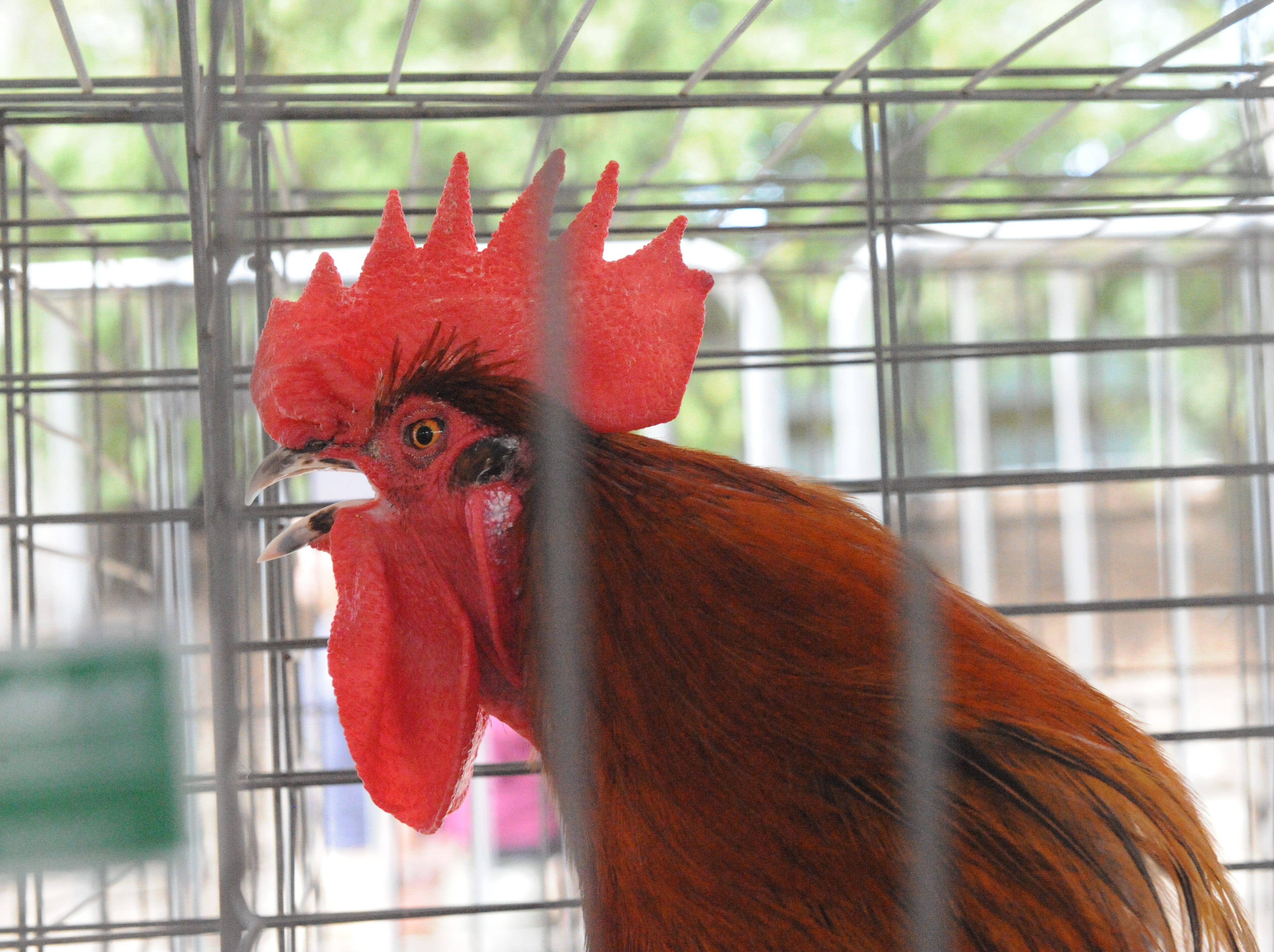 Laurel Nason's Black Copper Maran rooster crows during the Monterey County Fair Junior Livestock Auction on Saturday.