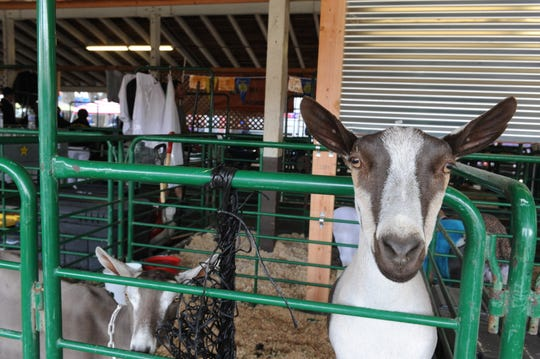 Hundreds of locally raised livestock, including 110 pigs, 49 lamb, 25 goats and 21 steers, were auctioned Saturday at the Monterey County Fair.