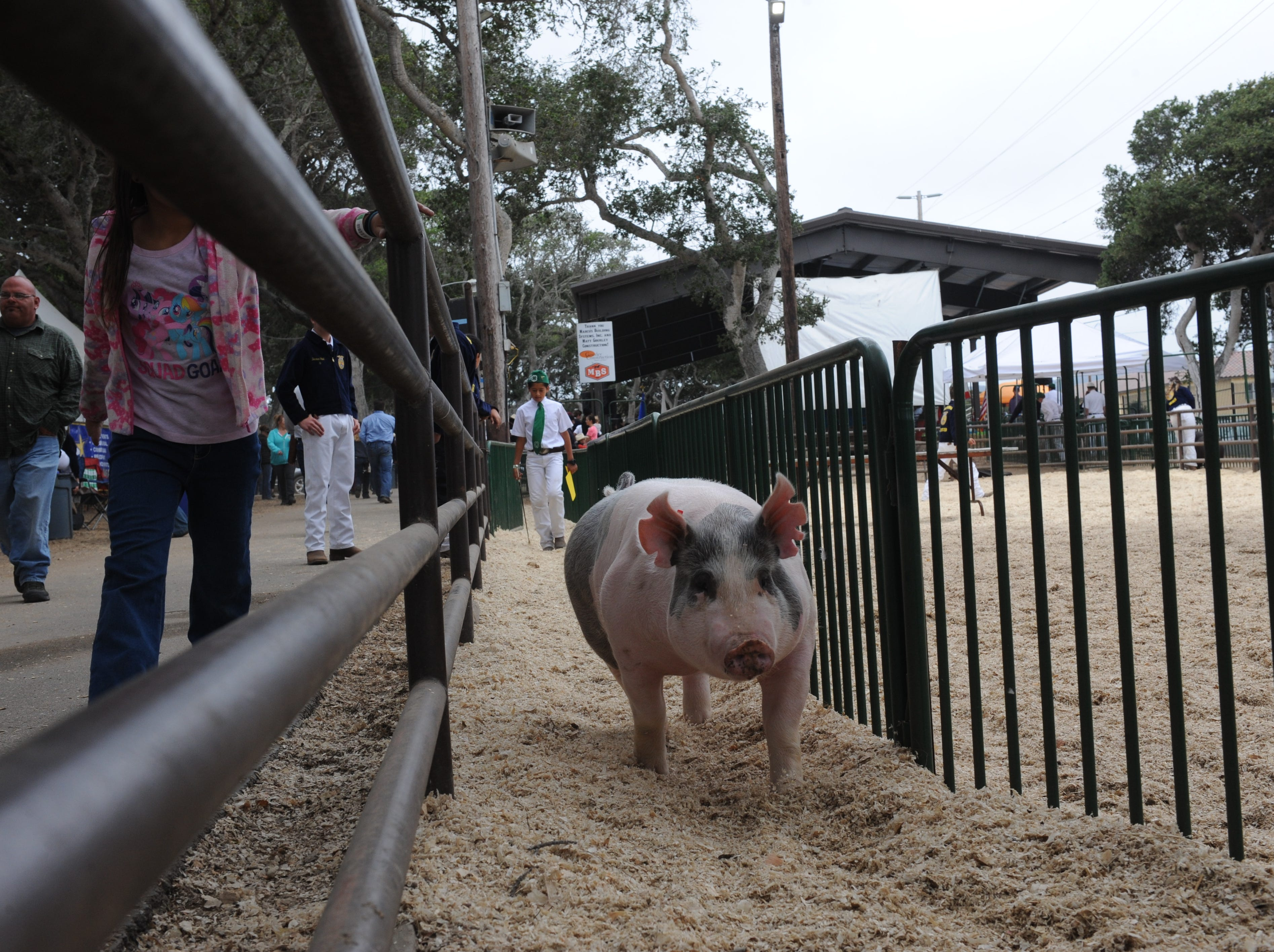 Diego Guillen, a seventh-grade student at Soledad's Main Street Middle School, walks behind his pig, Bubbles, after auction.