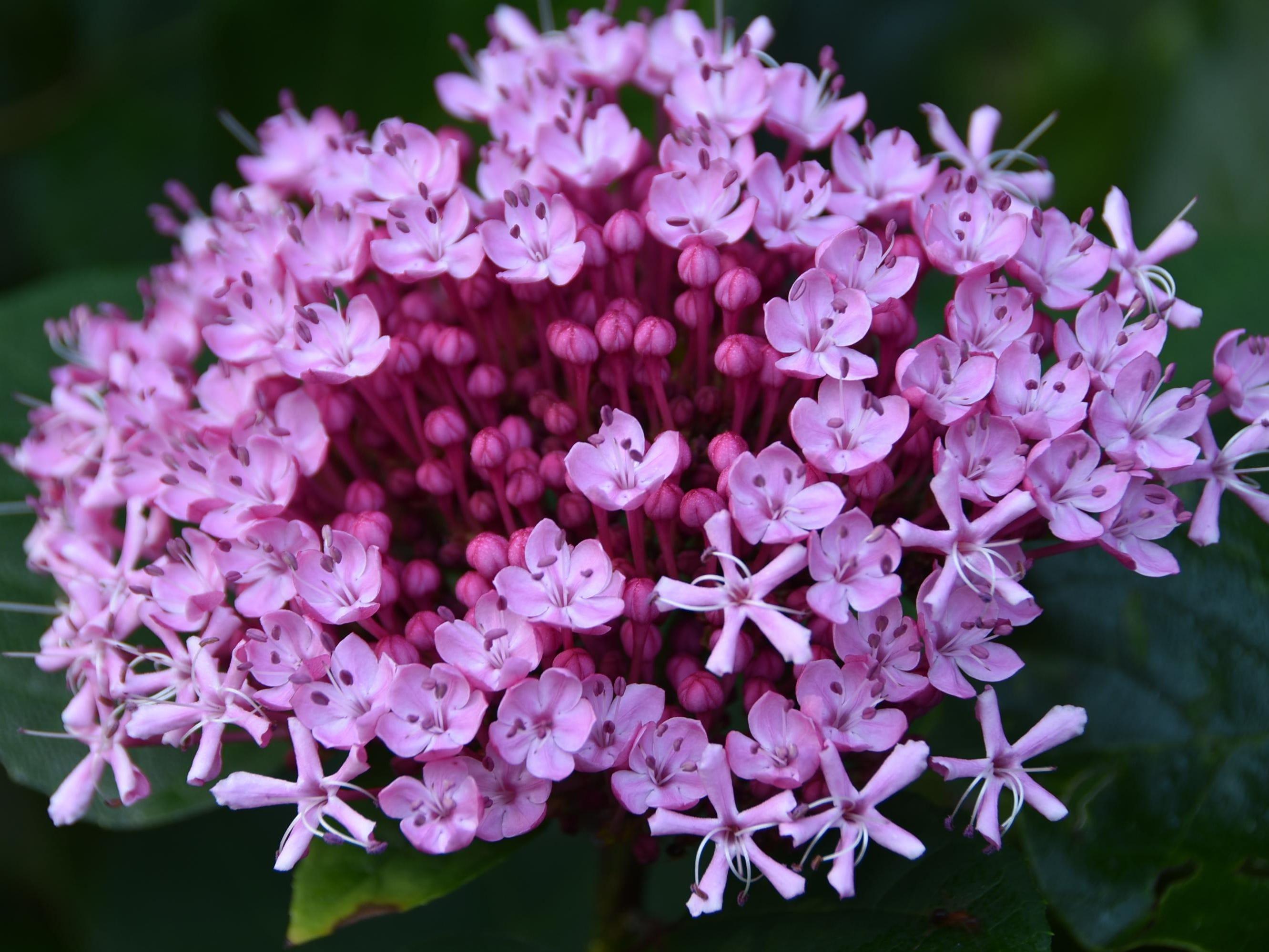 Joe Pie Weed Flower: Joe Pie Weed Flower in our Tallahassee backyard