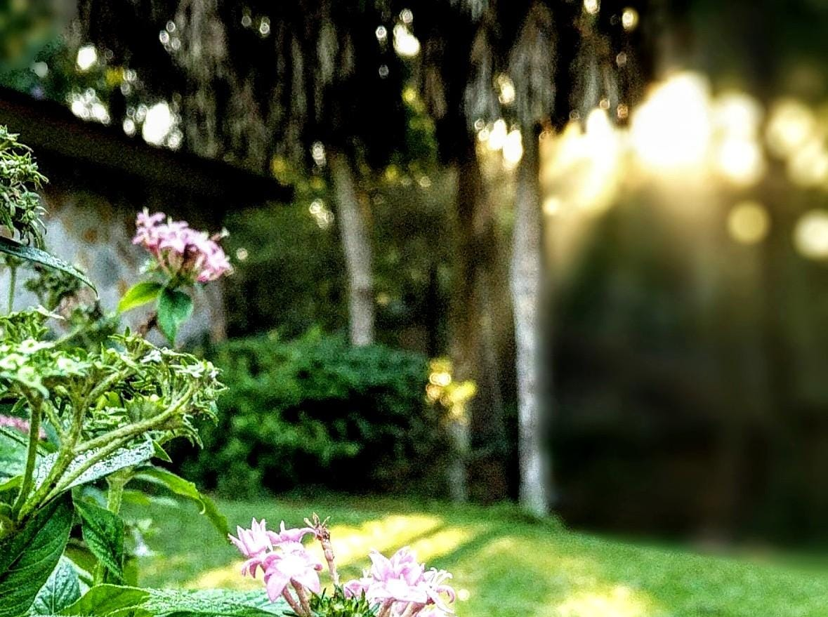 These sunbeams greeted my wife and me as we set out for our morning walk.  The pentas are in a planter that lines the path to our front door.