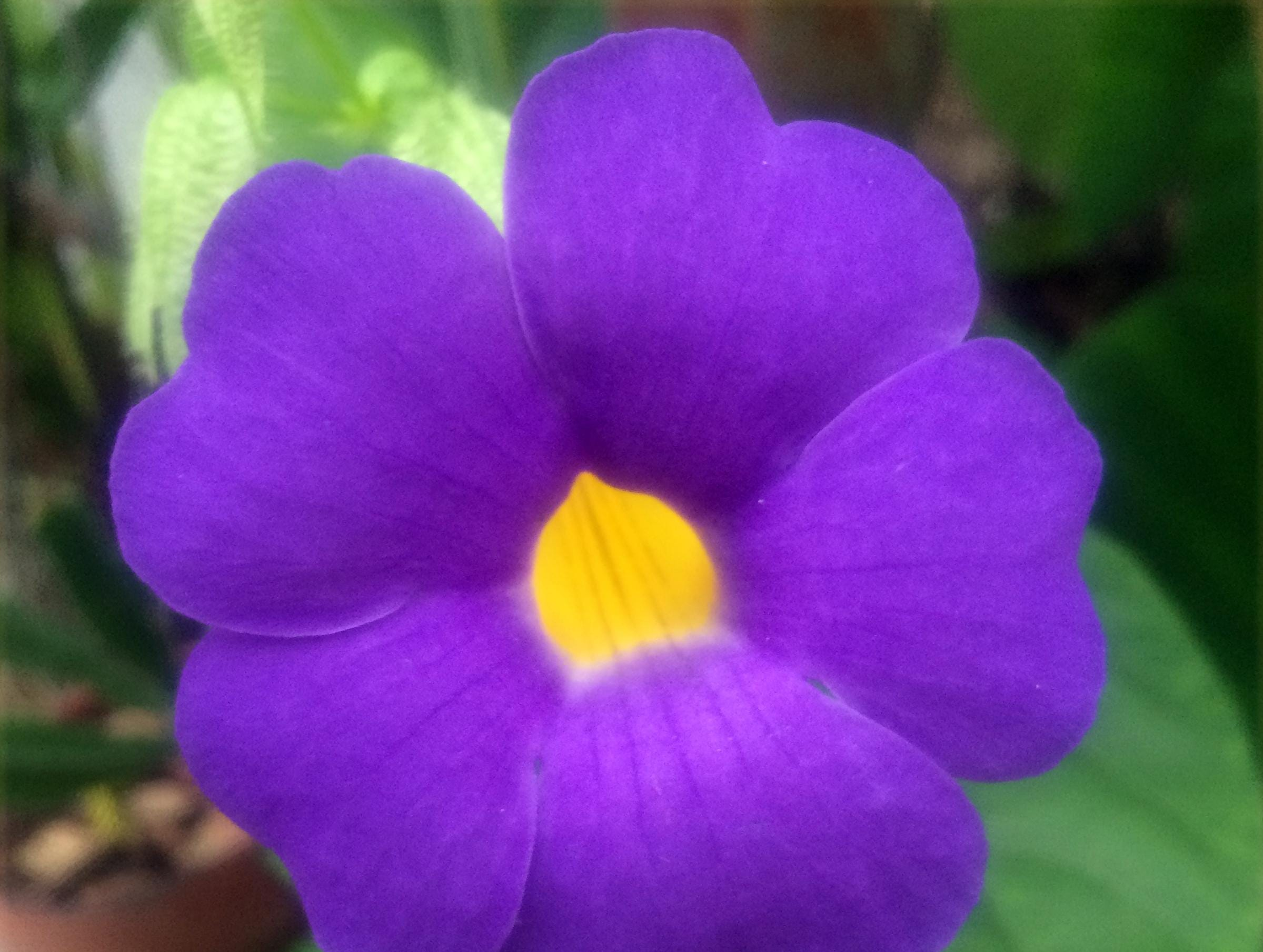 Beautiful Blue Boy vine: This blue flower on the arch at entrance to my patio looks gorgeous.