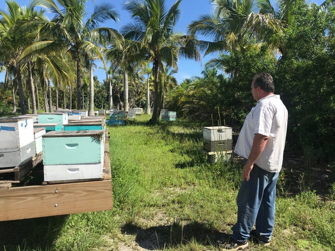 Lee County beekeeper Keith Councell looks over some of his hives along a canal in Bokeelia on Pine Island. Some of the hives, closer to a canal, have not been doing as well as others farther away, and Councell said the lethargic bees might be affected by contact with red tide.