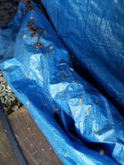 Dead bees cover a tarp in a wild colony at a home along a Cape Coral  canal.