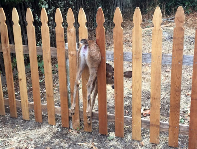 This Thursday, Aug. 30, 2018, photo provided by the Eugene Police Department shows a fawn stuck in a fence in Eugene, Ore. Eugene police officer Shawni McLaughlin freed the terrified fawn and, after a short recovery period, it was able to spring up and run away.