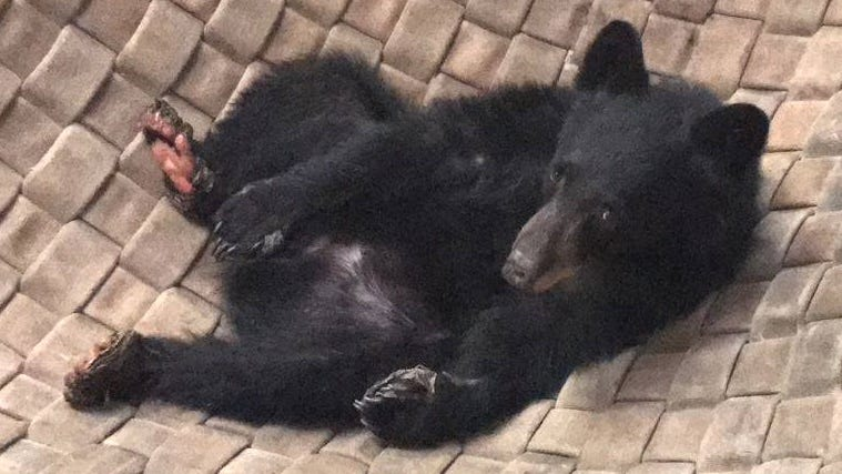 Carr Fire bear continues her 'remarkable recovery'