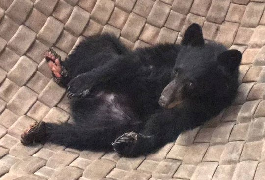 The young Carr Fire bear continues to recover from burned paws at a state vet facility in Rancho Cordova. Her caretakers' main goal now is to put some pounds on her so she's healthy enough for release.