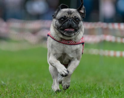 A puppy pug runs on a grass pitch during the 8th Southern German pug and bulldog race in Wernau, southern Germany, on Sept. 2.