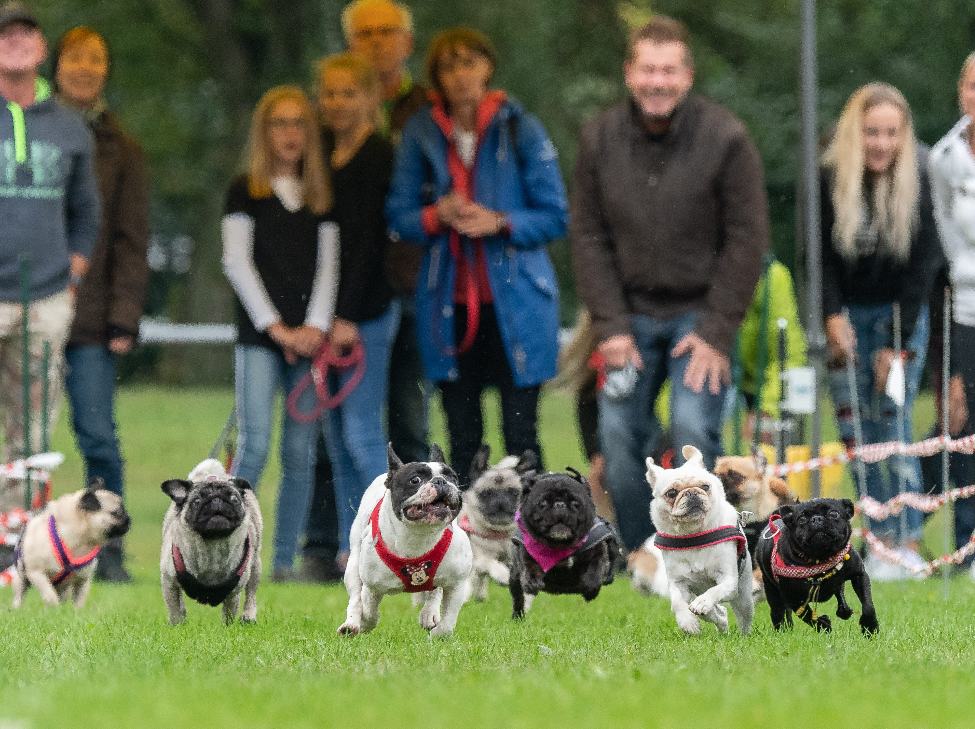 Pugs and French bulldogs run on a grass pitch during the 8th Southern German pug and bulldog race in Wernau,  Germany.