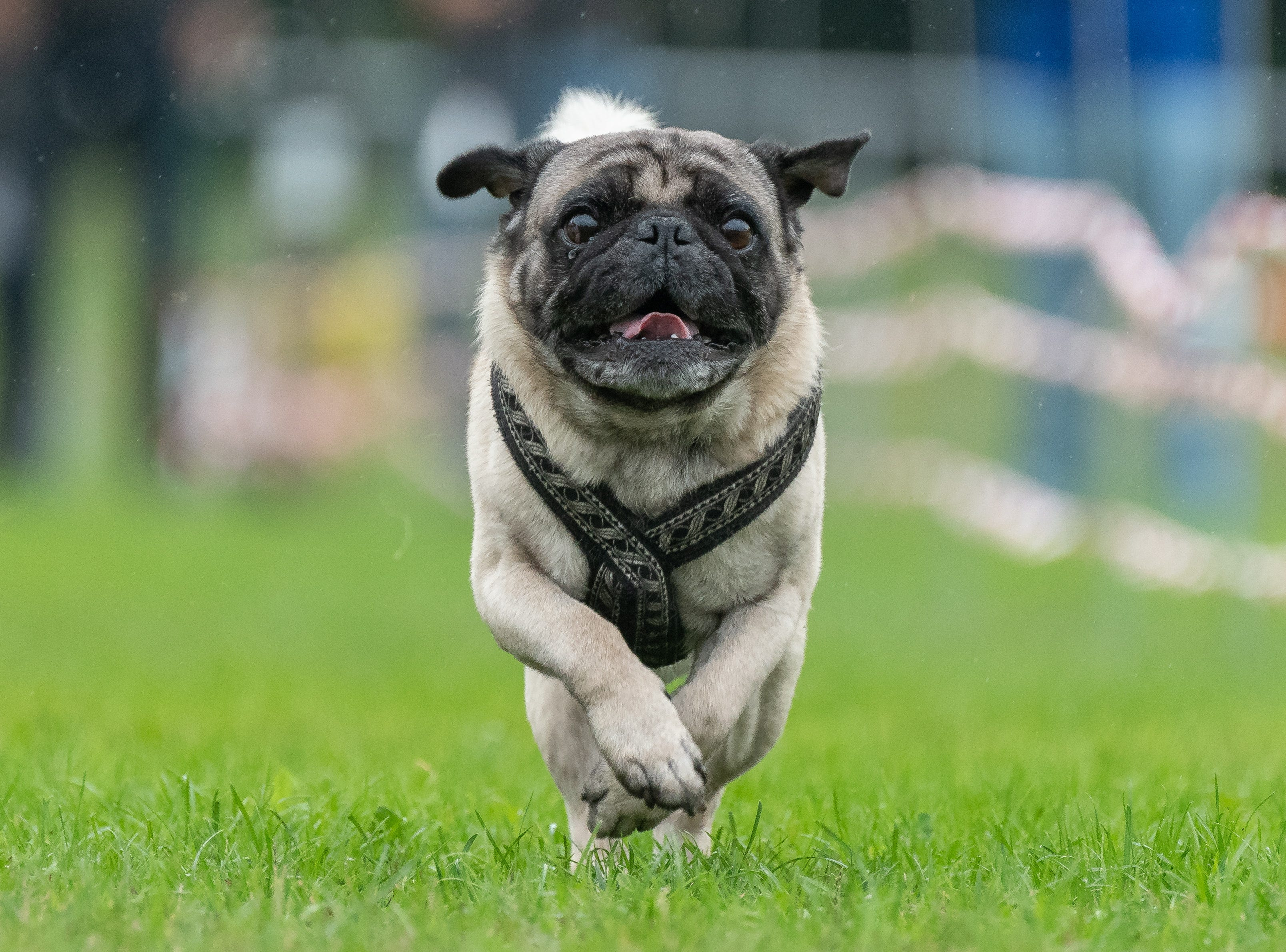 A pug runs during the 8th Southern German pug and bulldog race.