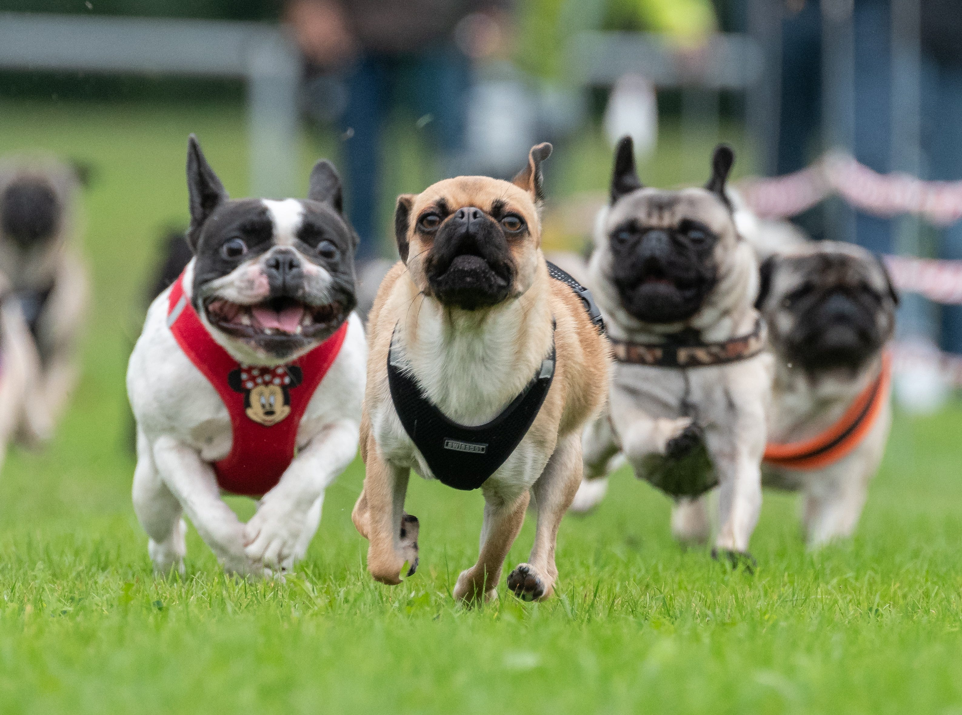 Pugs and French bulldogs run on a grass pitch during the 8th Southern German pug and bulldog race.