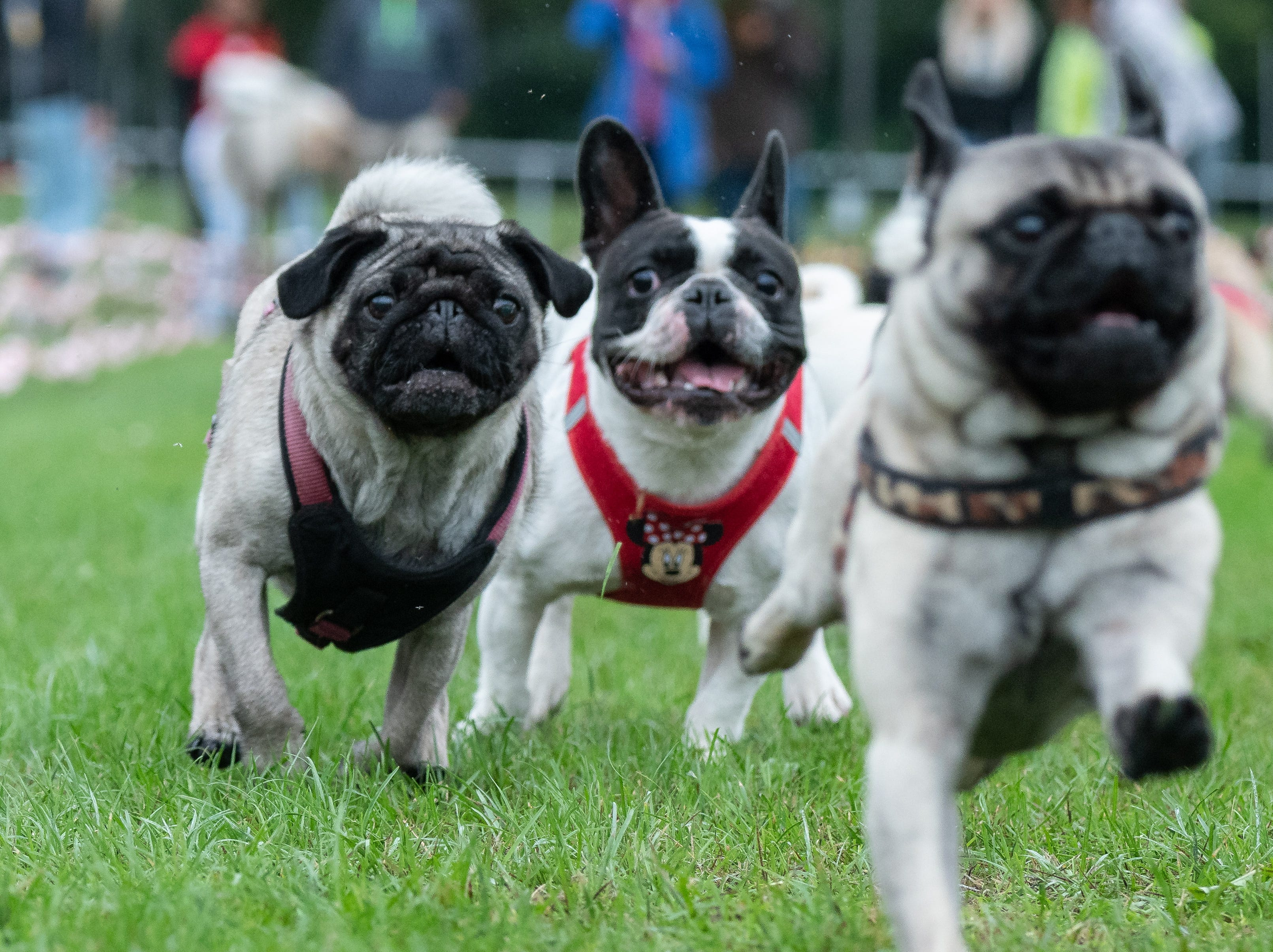 Pugs and French bulldogs run on a grass pitch during the 8th Southern German pug and bulldog race in Wernau,  Germany on Sept. 2, 2018.