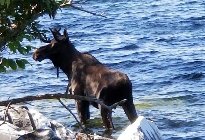 In this Saturday, Sept. 1, 2018, photo provided by Bernadette Toth, a moose stands in Lake Champlain in South Hero, Vermont. Wildlife officials say the animal had crossed the lake from New York state and made it to shore, but went back in the water, after likely feeling threatened by onlookers, and drowned.