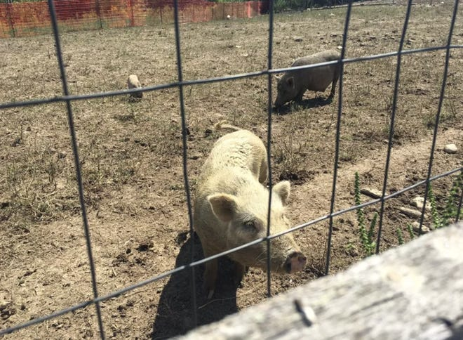 Atti's Acres says local and national rescue groups are working quickly to save at least 458 pigs who are malnourished, pregnant, or in distress after a hoarding case in Falmouth, Ky.