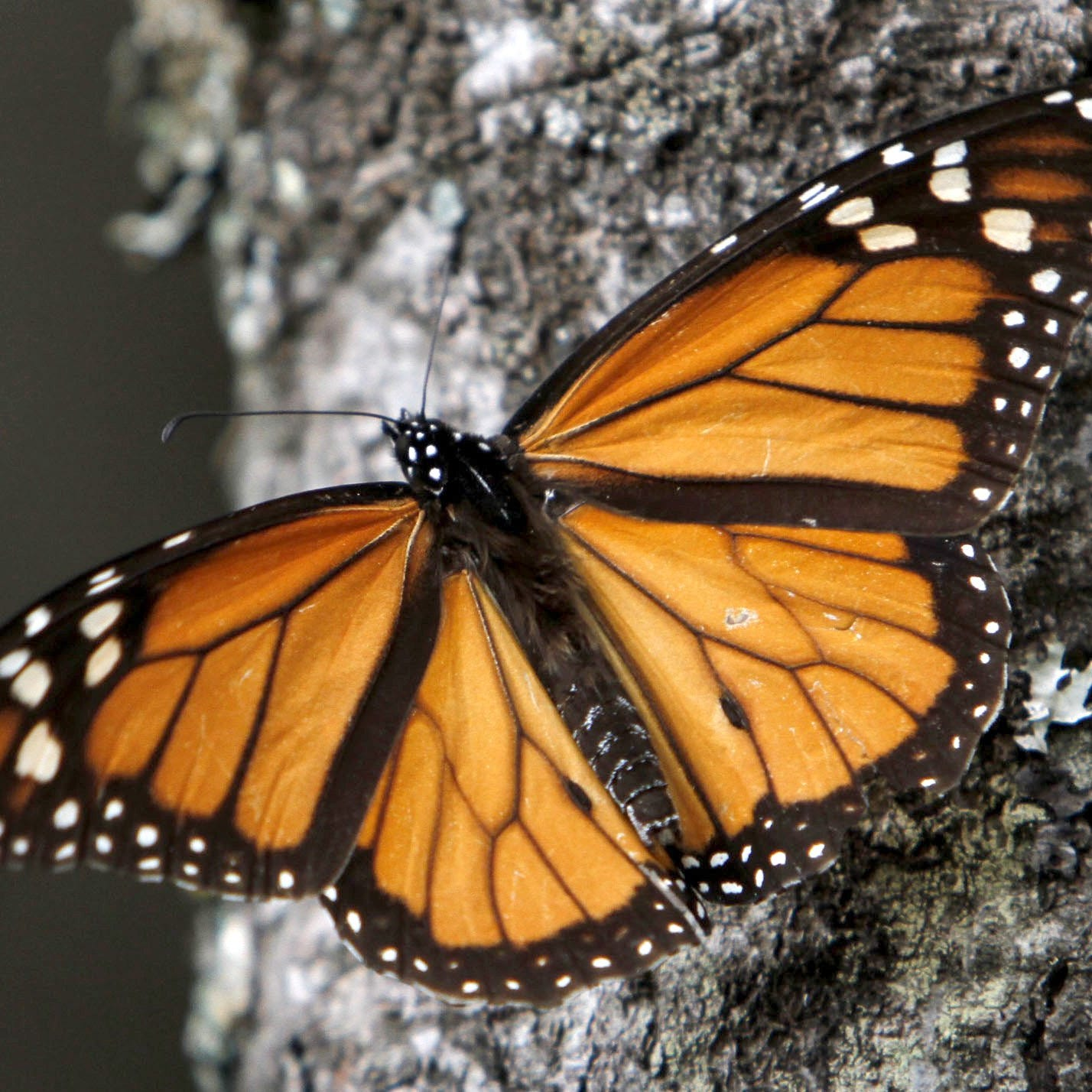 Love Monarch butterflies? Here's new research on how to help species