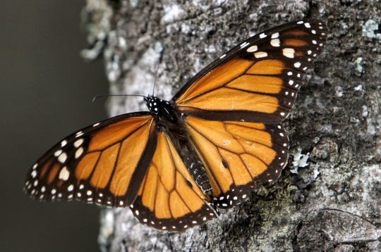 A monarch butterfly perches on a tree at the Sierra Chincua Sanctuary in the mountains of Mexico's Michoacan state.