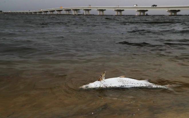 A dead tarpon floats off the shore of Sanibel Island near the Causeway bridge recently. Dead sea animals continue to wash ashore during the toxic algae outbreak in Florida.