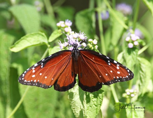 Rare queen butterfly spotted in the Meadowlands in Lyndhurst NJ