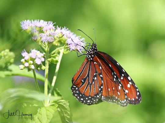 A rare queen butterfly spotted in DeKorte park in Lyndhurst on Sunday.